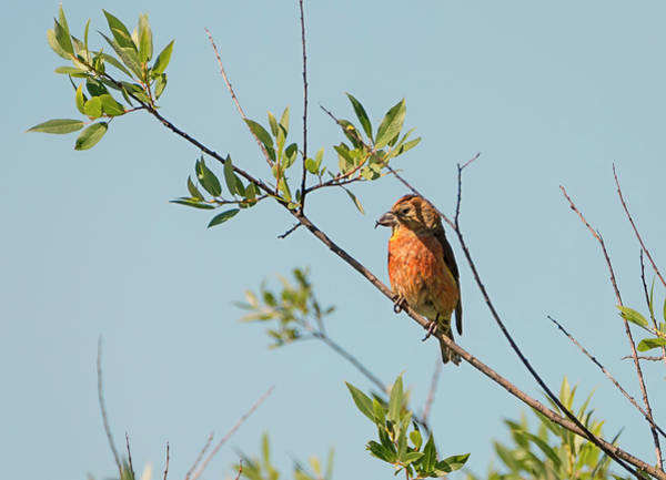 Crossbill Photograph - Red Crossbill by Loree Johnson