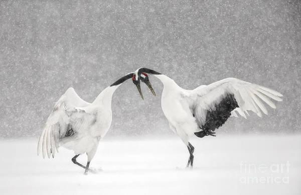 Wildbird Photograph - Red Crowned Cranes Dancing by Paul McKenzie