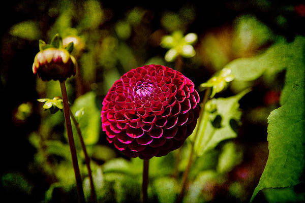 Photograph - Red Dahlia by Milena Ilieva