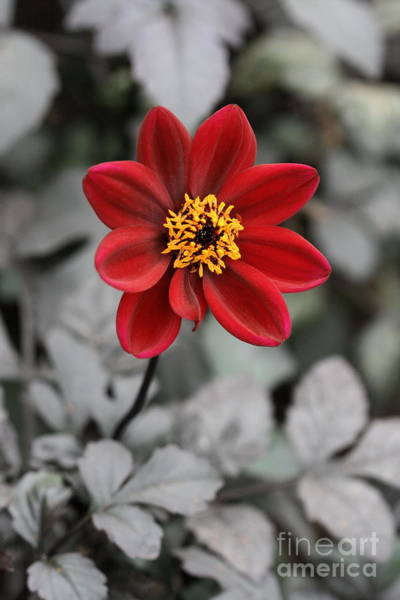 Photograph - Red Dahlia by Angela Rath