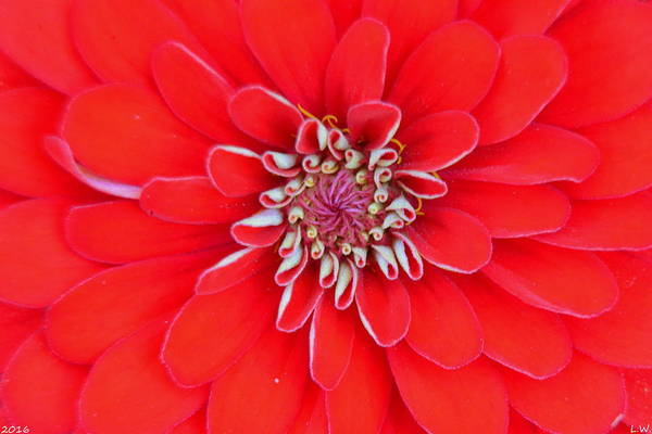 Photograph - Red Dahlia by Lisa Wooten