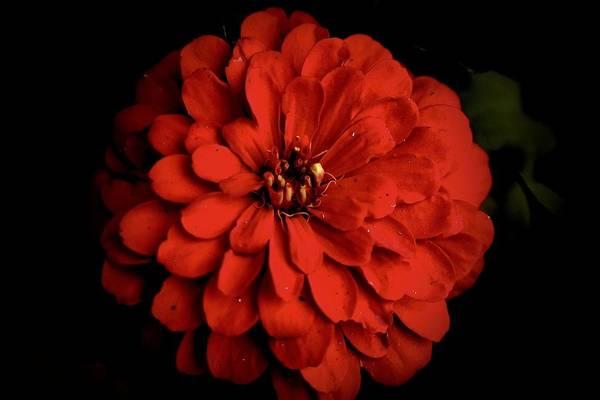 Photograph - Red Zinnia On Black by Lynda Anne Williams