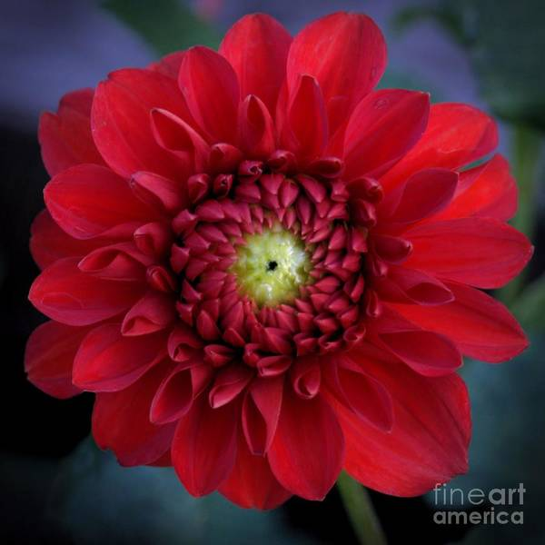 Photograph - Red Dahlia Square by Patricia Strand