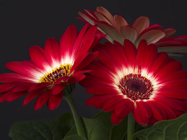 Photograph - Red Daisies #1 by Van Sutherland