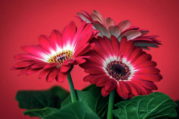 Photograph - Red Daisies #5 by Van Sutherland
