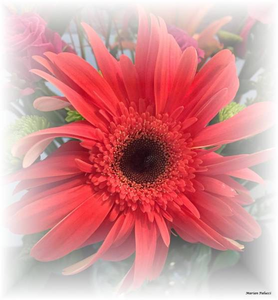 Photograph - Red Daisy  by Marian Palucci-Lonzetta