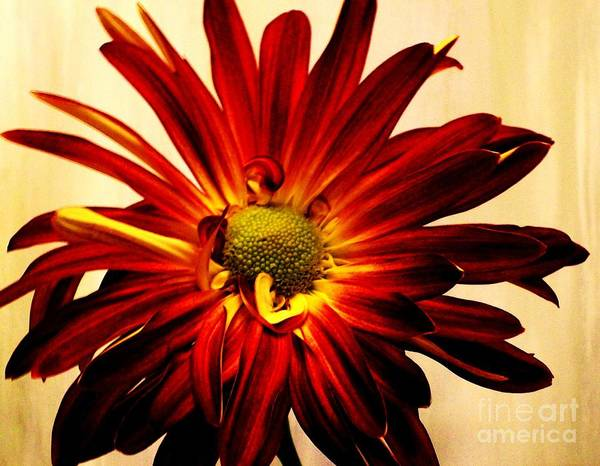 Comtemporary Photograph - Red Daisy On Gold by Marsha Heiken