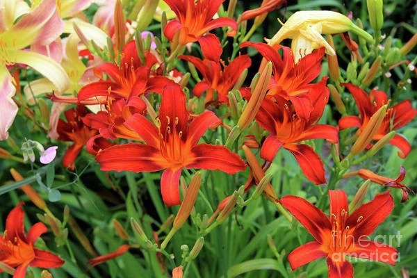 Photograph - Red Daylilies by Paula Guttilla