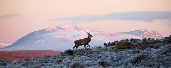 Photograph - Red Deer, Ben Wyvis by Gavin Macrae