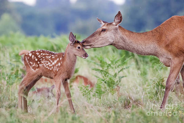 Red Deer - Cervus Elaphus - Female Hind Mother And Young Baby Calf Art Print