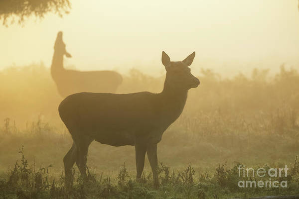 Photograph - Red Deer - Cervus Elaphus - Hinds Browsing On Willow On A Misty M by Paul Farnfield
