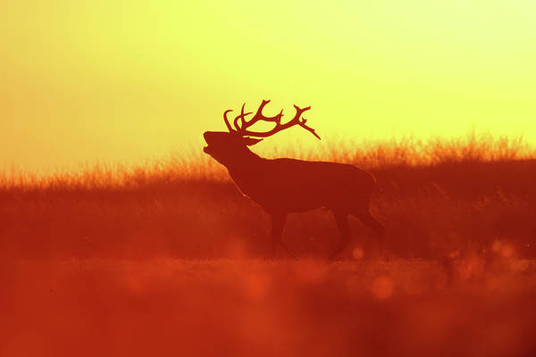Red Deer Photograph - Red Deer In Red Light by Roeselien Raimond