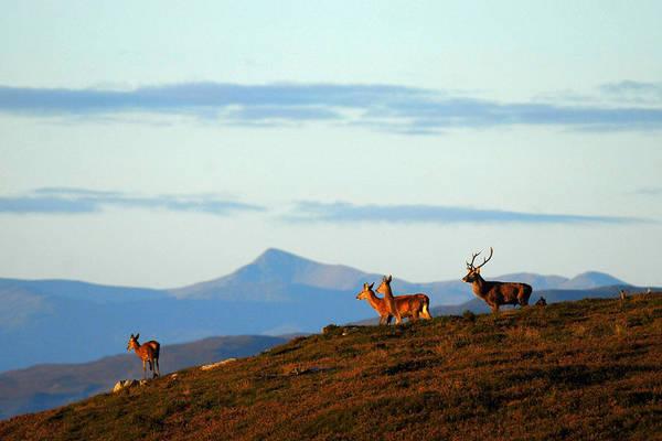 Photograph - Red Deer In Strathglass by Gavin MacRae