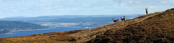 Photograph - Red Deer Overlooking The Beauly Firth  by Gavin Macrae