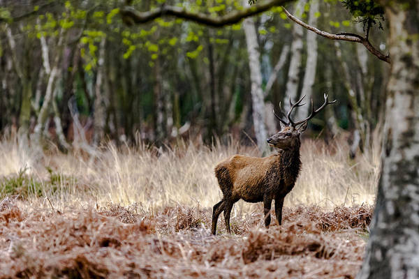Photograph - Red Deer Stag by Andy Myatt