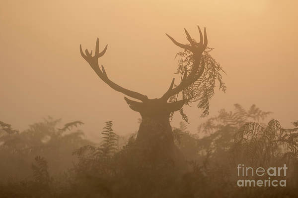 Red Deer Stag Cervus Elaphus Displaying At Sunrise With Bracken On Antlers Art Print