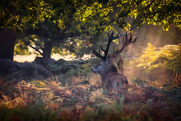Wall Art - Photograph - Red Deer Stag by Ian Hufton
