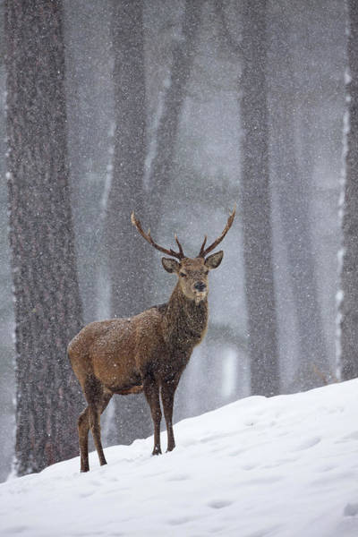 Photograph - Red Deer Stag  by Peter Walkden