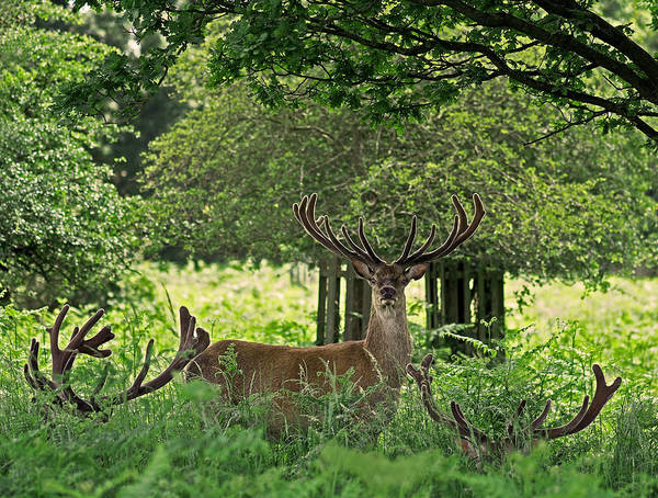 Photograph - Red Deer Stag by Rona Black