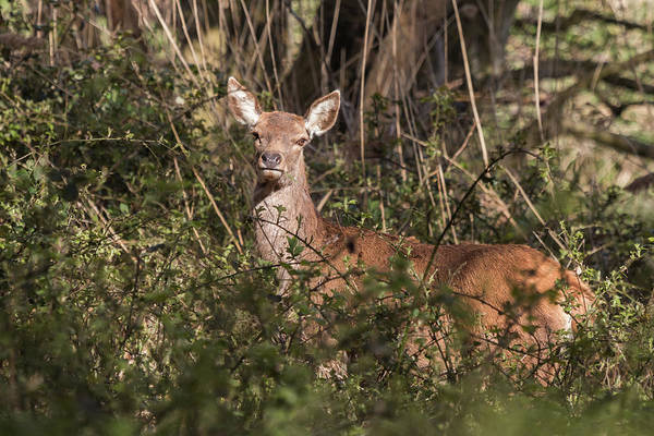 Photograph - Red Deer by Wendy Cooper
