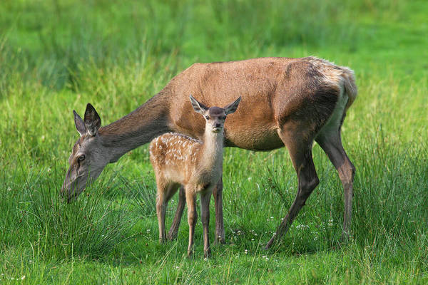 Photograph - Red Deer With Fawn by Arterra Picture Library