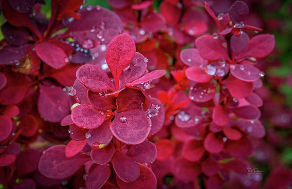 Photograph - Red Dew by Bill Posner