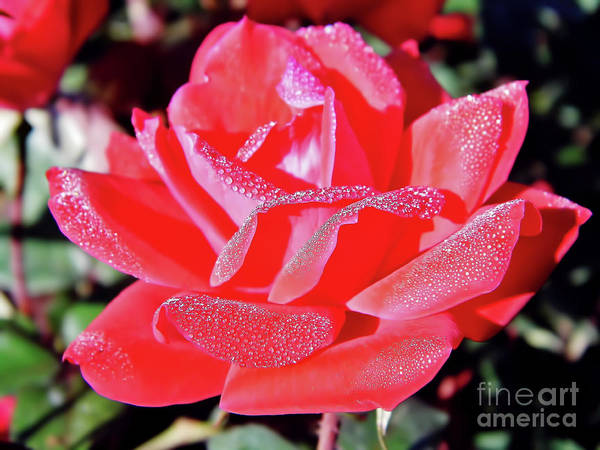 Red - Dew Covered  - Rose Art Print