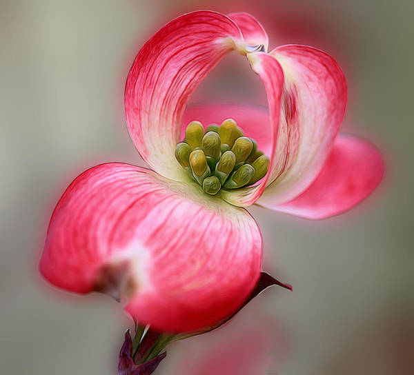 Honor Heights Park Photograph - Red Dogwood Bloom by Carolyn Fletcher