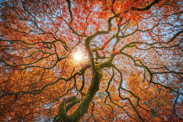 Wall Art - Photograph - Red Dragon Japanese Maple In Autumn Colors by William Freebilly photography