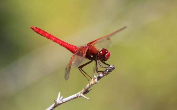 Photograph - Red Dragonfly - 2 by Christy Pooschke