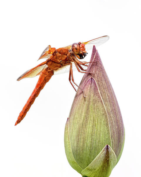 Photograph - Red Dragonfly by Wes and Dotty Weber