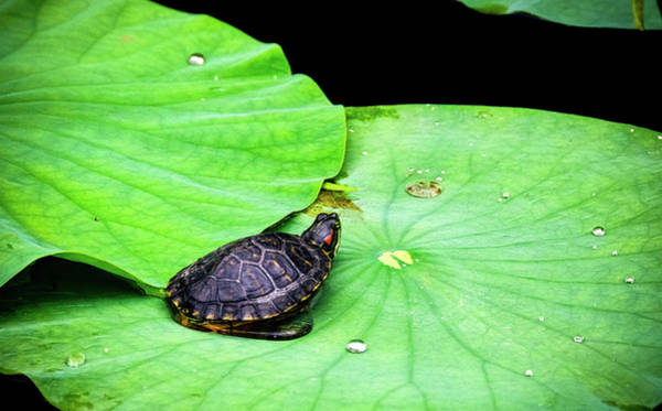 Photograph - Red-eared Slider by Greg Reed