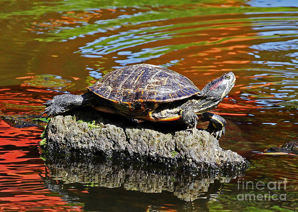 Photograph - Red Eared Slider by Jennifer Robin