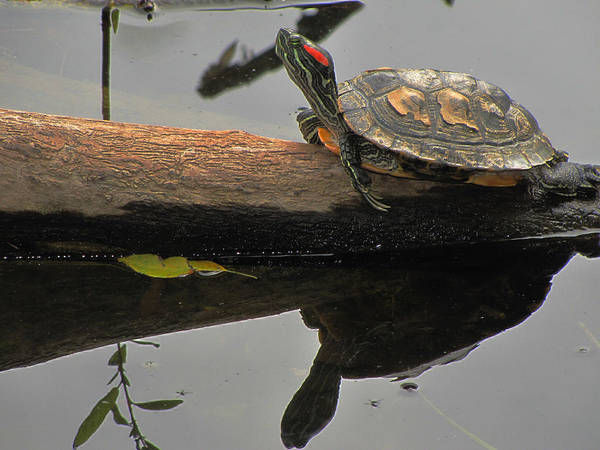 Photograph - Red Eared Slider Turtle by Scott Hovind