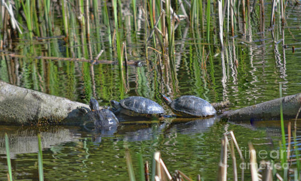 Photograph - Red Eared Slider Turtles by Vivian Martin