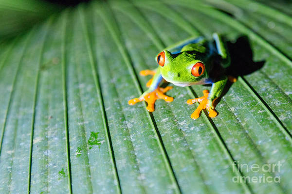 Frog Photograph - Red Eyed Frog Close Up by Matteo Colombo