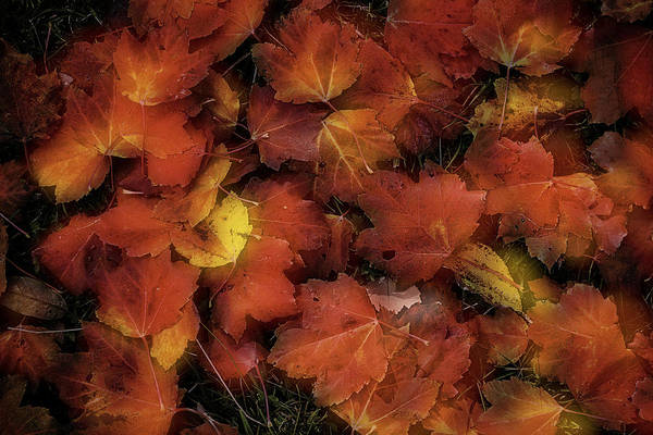 Photograph - Red Fallen Maple Leaves by Garry Gay