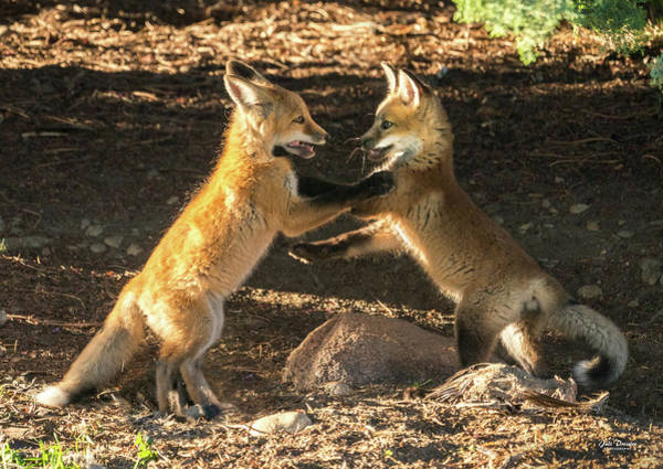 Photograph - Red Fox Kits At Play by Judi Dressler