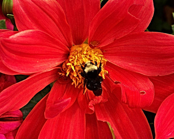 Photograph - Red Flower And Bee by Anthony Jones