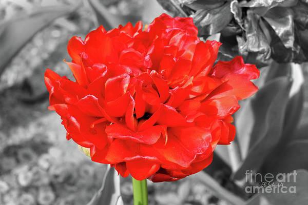 Photograph - Red Flower by E B Schmidt