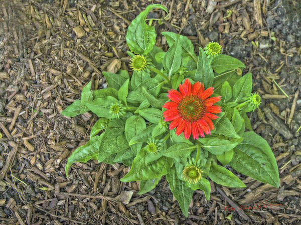 Photograph - Red Flower by Edward Peterson