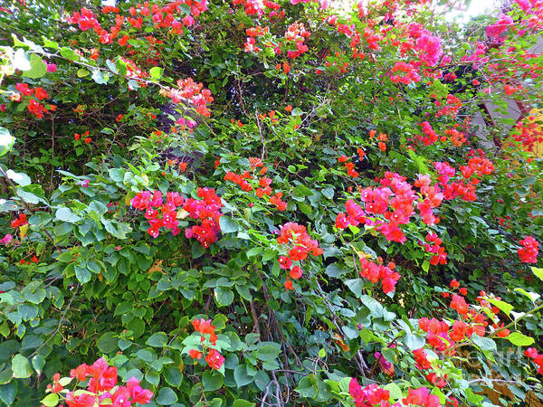 Photograph - Red Flower Hedge by Francesca Mackenney