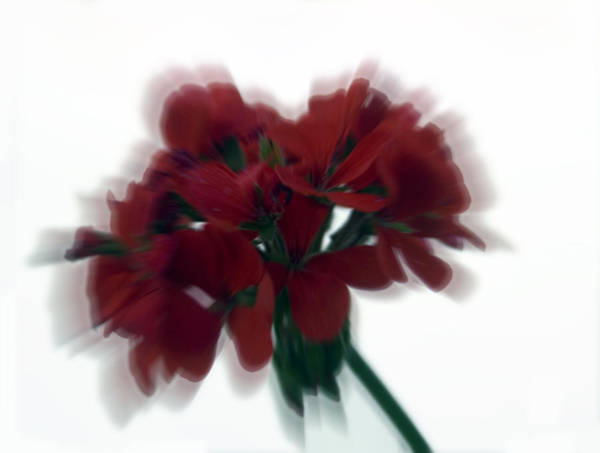 Photograph - Red Flower Motion by Cliff Norton