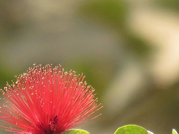 Wall Art - Photograph - Red Flower by Utpal Datta