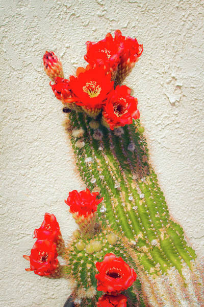 Photograph - Red Flowering Cactus by Bonnie Follett