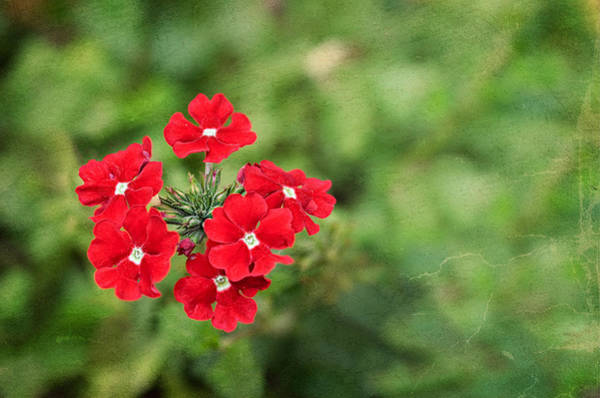 Photograph - Red Flowers by Christopher Meade