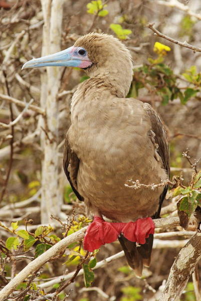 Wall Art - Photograph - Red-footed Booby by Tom Cheatham