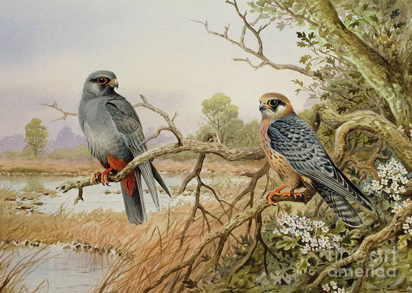 Wall Art - Painting - Red-footed Falcons by Carl Donner
