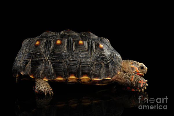 Photograph - Red-footed Tortoise by Sergey Taran