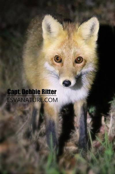 Photograph - Red Fox 5416 by Captain Debbie Ritter